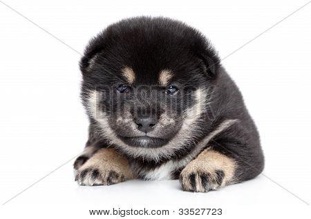 Shiba Inu Puppy Posing On White Background