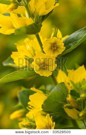 Yellow Loosestrife  in the garden , close up