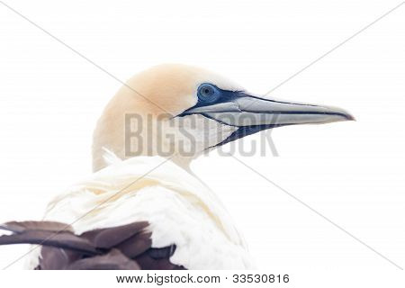 Portrait head-shot of gannet isolated on white