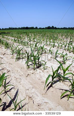 Drought Conditions In Illinois Corn Field