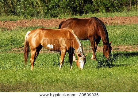 Horses Graze In The Sun