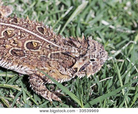 A Texas Horned Lizard In The Grass