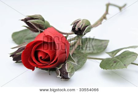 Single Rose With Four Buds