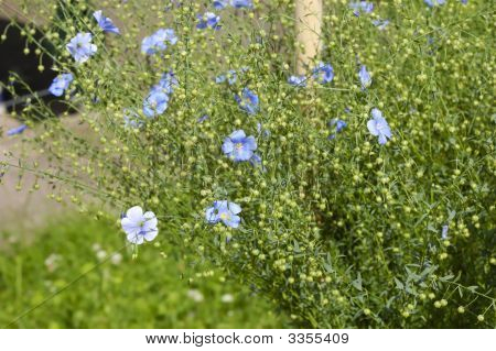 Blue Flowers And Seed Boxes Of Flax