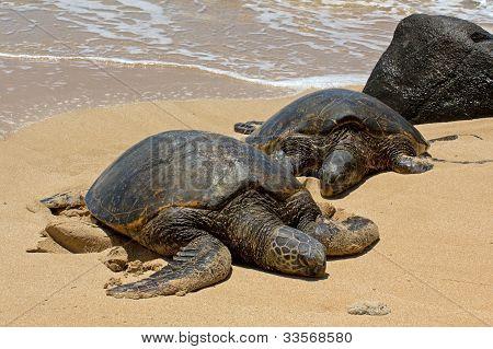 Male & Female Sea Turtles