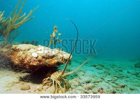 Lobster In Ocean