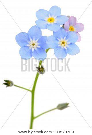 Beautiful Forget-me-not (Myosotis) Flowers On White Background