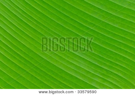 Banana Leaf Background Texture