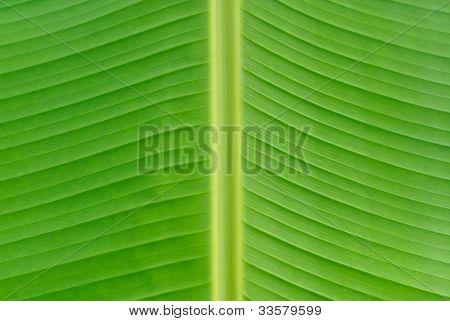 Banana Leaf Background Texture