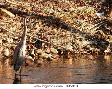 Great Blue Heron Searching