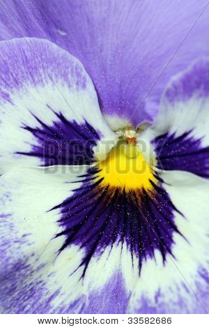 Extreme Closeup On A Pansy Flower