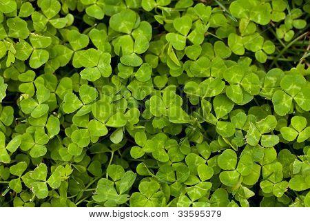 Vibrant Green Clover