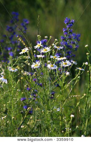 Kosovowildflowers