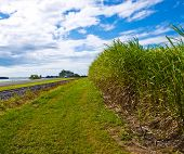 foto of ethanol  - sugar cane used for ethanol biofuel in Australia for clean green fuel - JPG