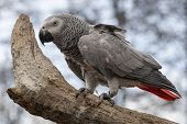 A Grey Parrot, Also Known As The Congo Grey Parrot, Congo African Grey Parrot Or African Grey Parrot poster