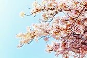 Beautiful Cherry Blossom Sakura In Spring Time Over Blue Sky.cherry Blossom In Full Bloom.copy Space poster