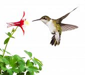 image of columbine  - A fluttering ruby throated hummingbird with an open tail dives into a bright red columbine flower blossom - JPG