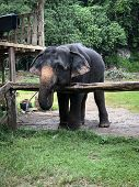 A Small Thai Elephant Stands Behind A Fence. Asian Elephant poster