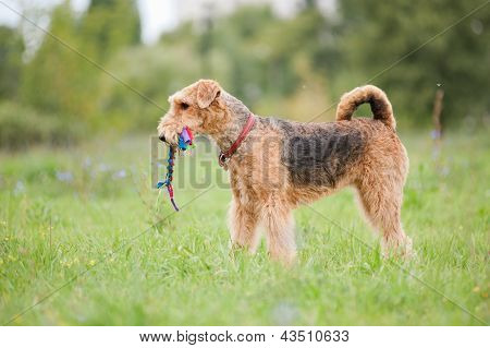 Airedale Terrier Playing With Rope Toy