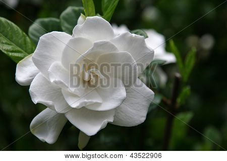 Gardenia-Blüte