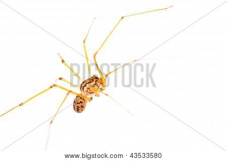Long-legged Spider Macro