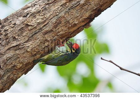 Coppersmith Barbet Perched On A Tree