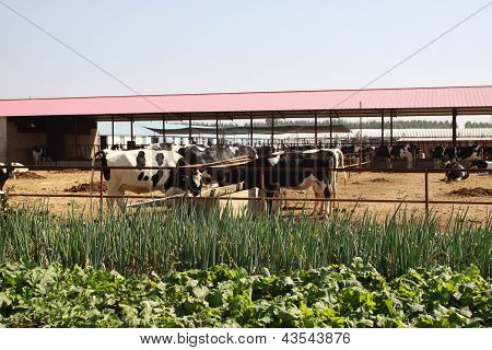 Holstein Cows In A Farm In China