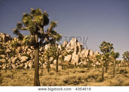 Joshua Trees And Yuccas