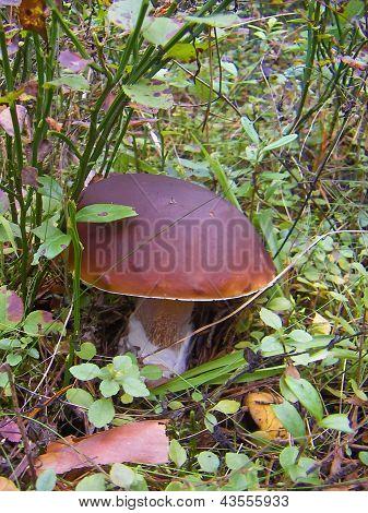 White mushroom (Boletus edulis)