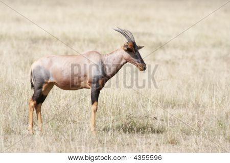 Topi Standing In Masai Mara