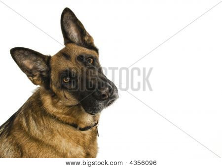 Short Haired German Shepherd