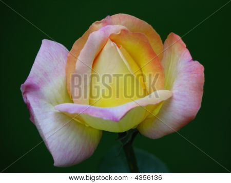 Peace Rose Bud Closeup