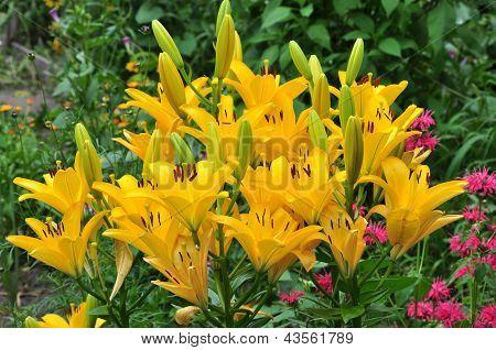 Yellow lilies(nove sento)
