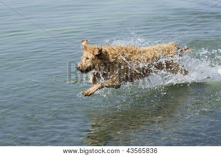 Running Labradoodle Dog