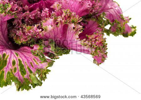 Flowering Pink Kale