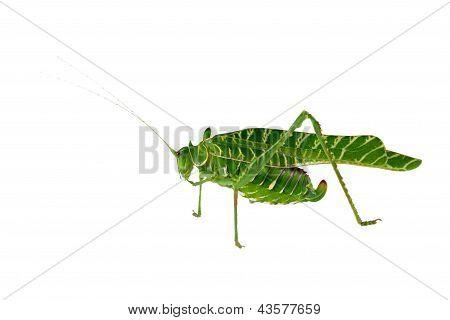 Acacia Katydid