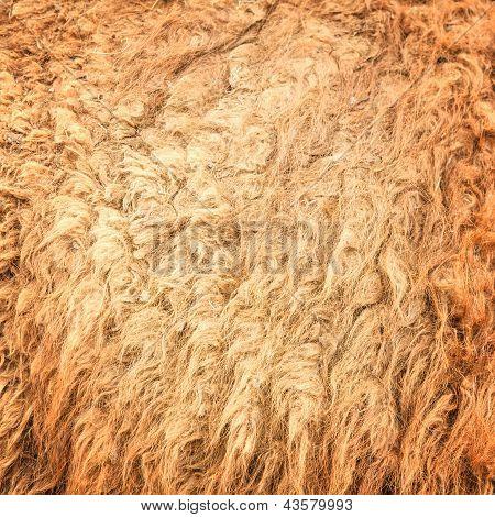 Camel Wool
