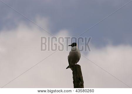 Gaivota-parda - Larus canus
