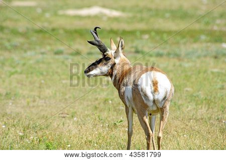 Portrait Of An Antelope