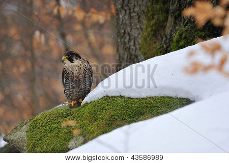 Peregrine Falcon Sitting On Ground In Wood