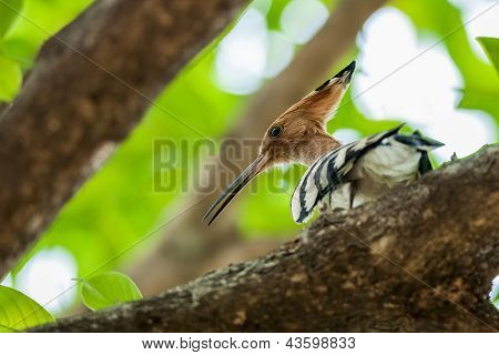 Common Hoopoe, Upupa Epops, Bird, Perched On Tree Branch, Sunlight, Leaves, Green, Copy Space