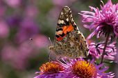 Close Up Of Painted Lady Butterfly