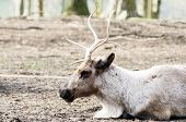 foto of rudolf  - Reindeer resting on the ground closeup showing head and antler detail - JPG