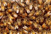 picture of flying-insect  - Bees in a beehive making sweet honey in the the honeycomb cell structures working together as a team of flying insects franticaly feeding the larvea as a golden yellow nature background - JPG