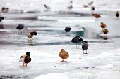 Flock Of Ducks On Frozen River