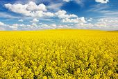 foto of turnip greens  - field of rapeseed with beautiful cloud  - JPG