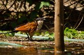 Senegalese Coucal in Garden