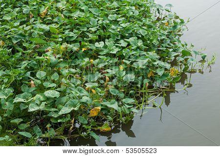 Water Convolvulus