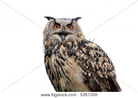 Noisy Owl
