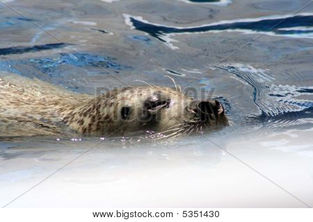 Seal Playing In The Water